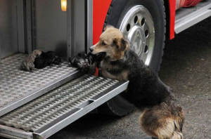 fire rescue dog